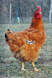 A big hen Royalty Free Stock Photos