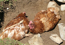 Big hen with brown plumage and hatching eggs Royalty Free Stock Photography