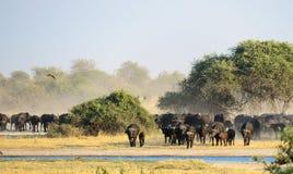 A big herd African Buffalo Syncerus caffer approaching a waterhole. A big herd of African Buffalo Syncerus caffer approaching a waterhole to drink. The waterhole stock photos