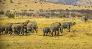 A big herd of elephants and babies walking in Pilanesberg national park stock image
