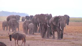 Big Herd Of Elephants Walking Towards Camera Stock Image