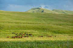 Big herd of horses Stock Image