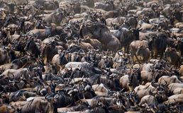 Free Big Herd Of Wildebeest In The Savannah. Great Migration. Kenya. Tanzania. Masai Mara National Park. Stock Images - 79877514