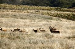 Big Herd of Red Deer during the rut. Red Deer gather together during the rut which brings out the big stags to fight for dominance & territory stock images