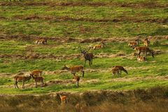 Big Herd of Red Deer during the rut. Red Deer gather together during the rut which brings out the big stags to fight for dominance & territory Stock Photo