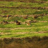 Big Herd of Red Deer during the rut. Red Deer gather together during the rut which brings out the big stags to fight for dominance & territory Royalty Free Stock Photos