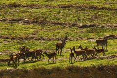 Big Herd of Red Deer during the rut. Red Deer gather together during the rut which brings out the big stags to fight for dominance & territory Royalty Free Stock Photo