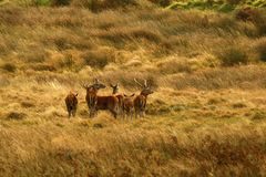 Big Herd of Red Deer during the rut. Red Deer gather together during the rut which brings out the big stags to fight for dominance & territory Stock Photography