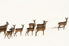 Big herd of roe deers Stock Images