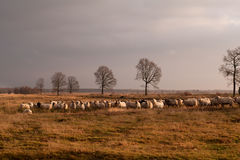 Big herd of sheep on savanna pasture Royalty Free Stock Images