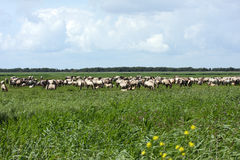 Big herd wild horses Royalty Free Stock Photo
