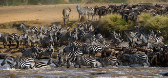 Big herd of wildebeest is about Mara River. Great Migration. Kenya. Tanzania. Masai Mara National Park. An excellent illustration Royalty Free Stock Image