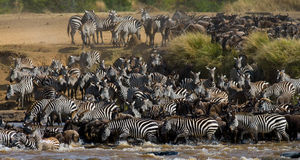 Big herd of wildebeest is about Mara River. Great Migration. Kenya. Tanzania. Masai Mara National Park. An excellent illustration Stock Image