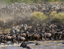 Big herd of wildebeest is about Mara River. Great Migration. Kenya. Tanzania. Masai Mara National Park. An excellent illustration Royalty Free Stock Photography