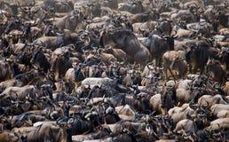 Big herd of wildebeest in the savannah. Great Migration. Kenya. Tanzania. Masai Mara National Park. stock images