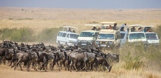 Big herd of wildebeest in the savannah. Great Migration. Kenya. Tanzania. Masai Mara National Park. Stock Photography