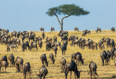 Big herd of wildebeest in the savannah. Great Migration. Kenya. Tanzania. Masai Mara National Park. Stock Photo