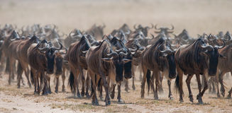 Big herd of wildebeest in the savannah. Great Migration. Kenya. Tanzania. Masai Mara National Park. Stock Photos