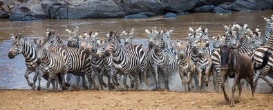 Big herd of zebras standing in front of the river. Kenya. Tanzania. National Park. Serengeti. Maasai Mara. Royalty Free Stock Photography