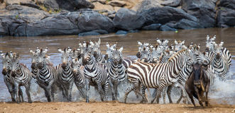 Big herd of zebras standing in front of the river. Kenya. Tanzania. National Park. Serengeti. Maasai Mara. Royalty Free Stock Images