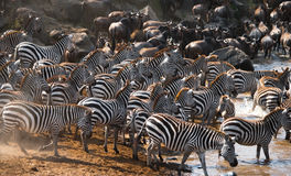 Big herd of zebras standing in front of the river. Kenya. Tanzania. National Park. Serengeti. Maasai Mara. Stock Photo