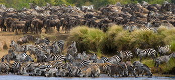 Big herd of zebras standing in front of the river. Kenya. Tanzania. National Park. Serengeti. Maasai Mara. Stock Photography