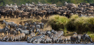 Big herd of zebras standing in front of the river. Kenya. Tanzania. National Park. Serengeti. Maasai Mara. An excellent illustration stock photo