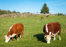 Big Hereford Cow Stock Images