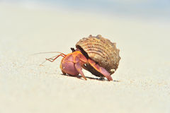 Big hermit crab Royalty Free Stock Photography