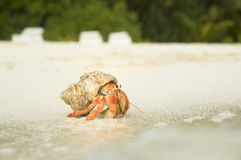 Big Hermit Crab. Close up color picture of hermit crab crawling through sandy beach stock images