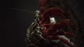 Big hermit crab stock video