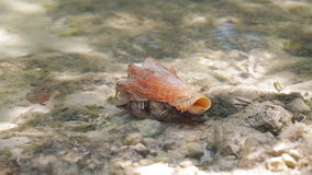 Big Hermit Crab walking stock footage
