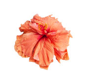 Big hibiscus flower isolated Royalty Free Stock Photography