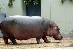 Big hippo. Hippo walking arround at the zoo Stock Photo