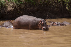Big hippo, Serengeti, Tanzania Royalty Free Stock Photo