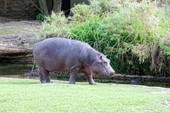 Big hippopotamus Royalty Free Stock Photography