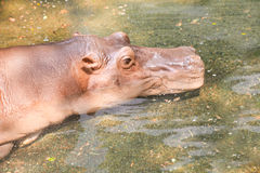 Big hippopotamus in water. Stock Image