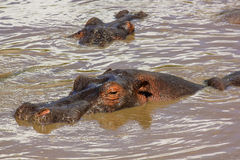 Big hippos submerged in the river in the Serengeti Stock Photos
