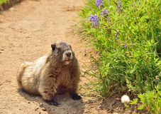 Big hoary marmot in Mount Rainier National Park. Big hoary marmot (Marmota caligata) and flowers in Mount Rainier National Park Royalty Free Stock Photography