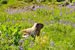 Big hoary marmot in Mount Rainier National Park. Big hoary marmot (Marmota caligata) and flowers in Mount Rainier National Park Royalty Free Stock Images
