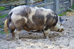 Big hog Stock Image