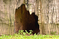 Big hole in dead stump Royalty Free Stock Images