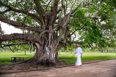 Big holy Bodhi tree in a park in Sri Lanka royalty free stock image