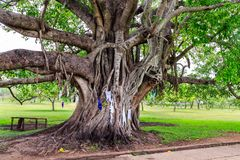 Big holy Bodhi tree in a park in Sri Lanka stock photo