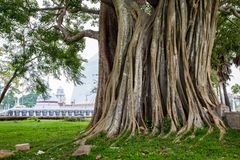 Big holy Bodhi tree with stupa in the background in Sri Lanka royalty free stock photos