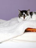 Big home cat is lying on a bed Royalty Free Stock Image