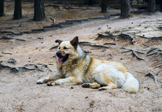 Big homeless dog lying in the Park on sand. Royalty Free Stock Photo