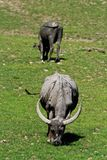 Big hor buffalo Royalty Free Stock Photo