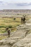 Big Horn cakle w badlands Południowy Dakota Obrazy Royalty Free