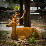 The big horn deer is laying in the park of Thailand. Stock Photo